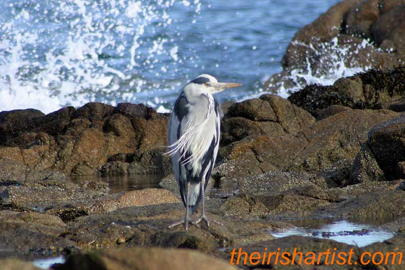 Heron at rest, near the Forty Foot